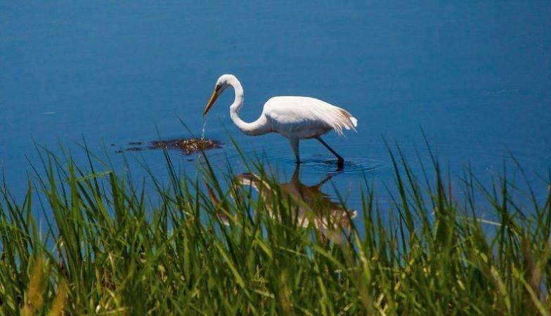 image: egret at bombay hook